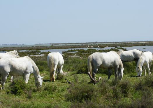 סוסים באזור קמארג
