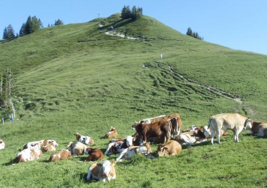 עדר פרות במהלך המסלול באגמי בוואריה