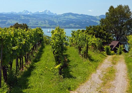 יקבים וכרמים סביב אגם קונסטנץ